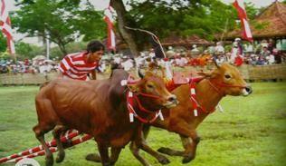 kerapan sapi madura
