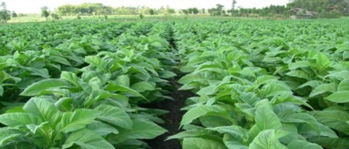 Hasil gambar untuk Mutiara Hijau tembakau